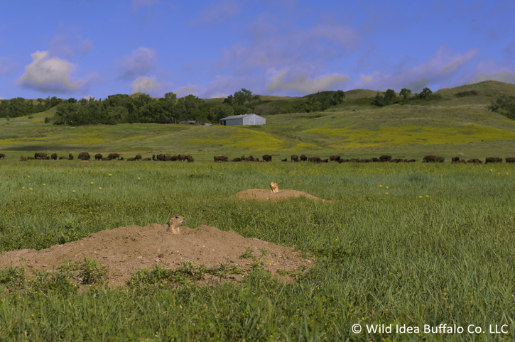 Buffalo-on-Prairie-Dog-Town-rswm